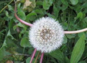 mysteries dandelion